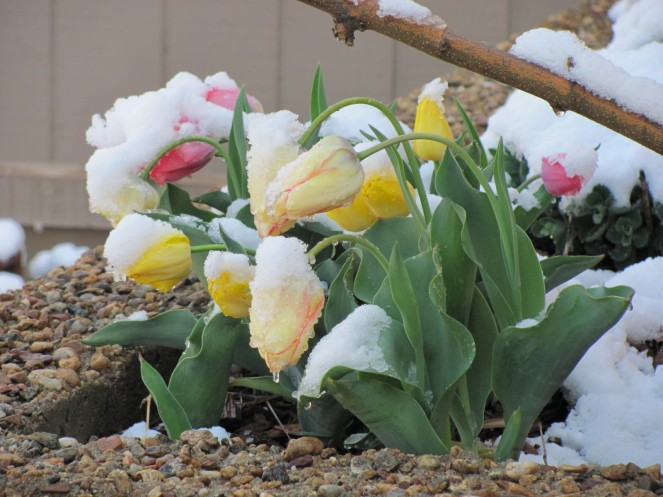tulips in the snow-Boulder-26Apr10